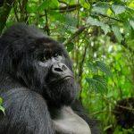 Aux pays des gorilles, le Congo et le Rwanda