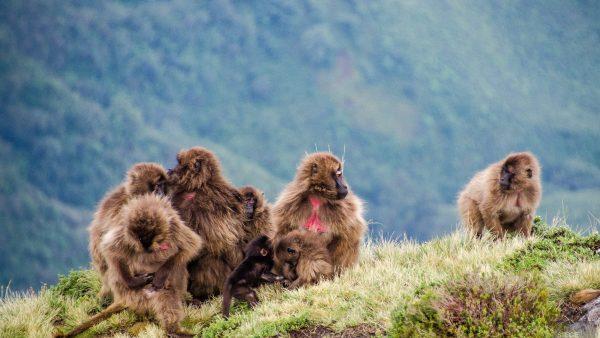 groupe babouin falaise - des babouins dans les nuages monts simien ethiopie - Des babouins dans les nuages Monts Simien Ethiopie - afrique, ethiopie