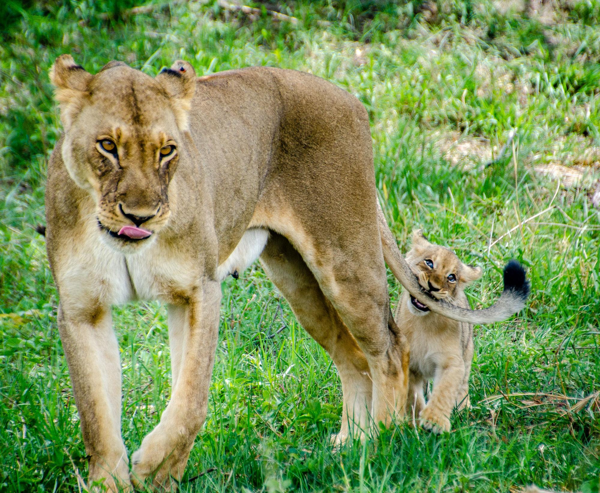 bebe lions queue maman - parc national de hwange - Zimbabwe, les chutes Victoria et plus encore! - afrique, zimbabwe