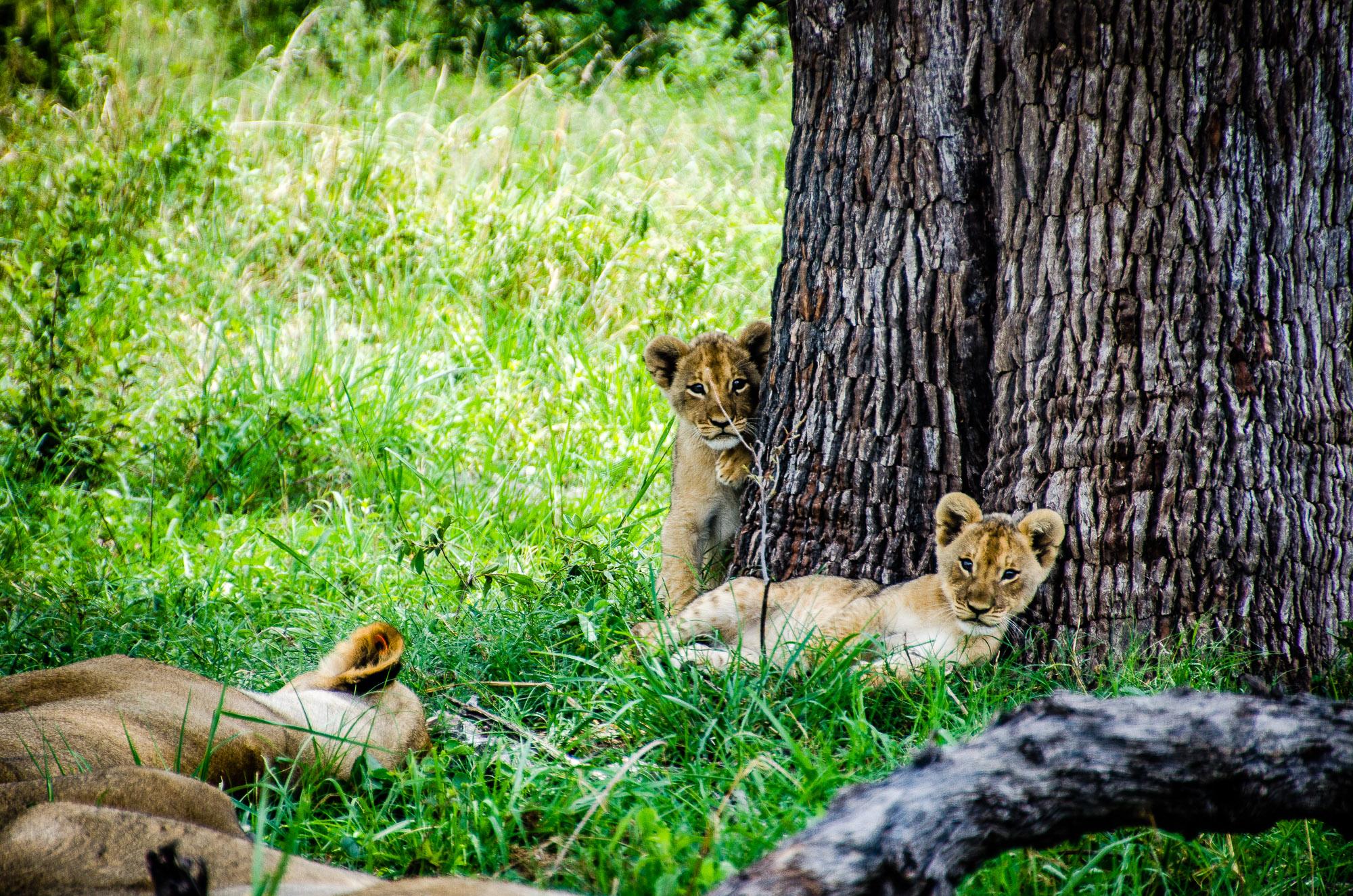 bebes lions - parc national de hwange - Zimbabwe, les chutes Victoria et plus encore! - afrique, zimbabwe