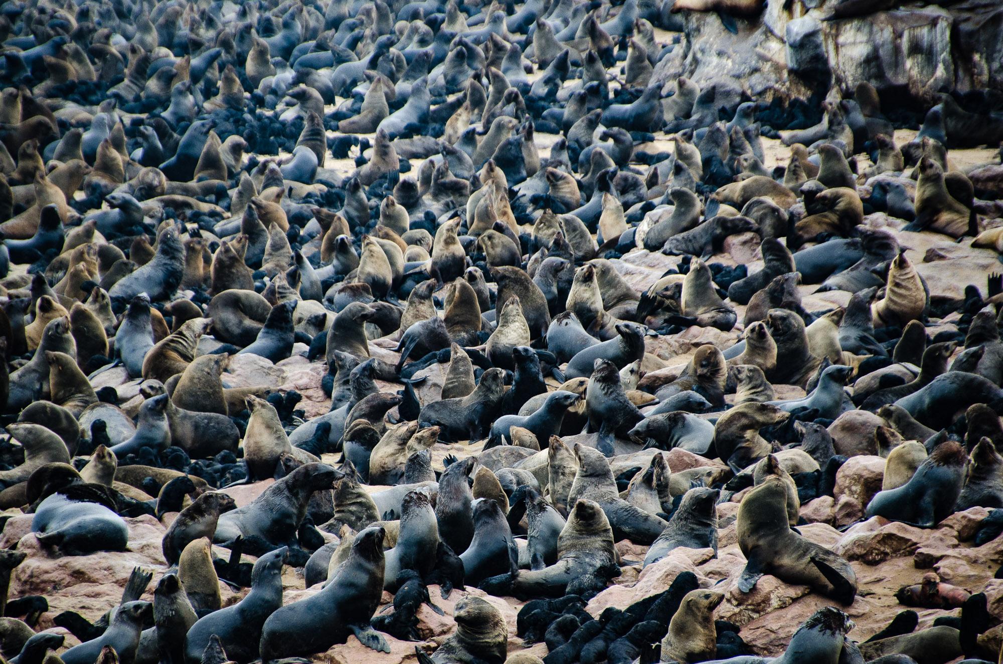 colonie phoques cape cross 2 - swakopmund - le desert du namibie - afrique, namibie