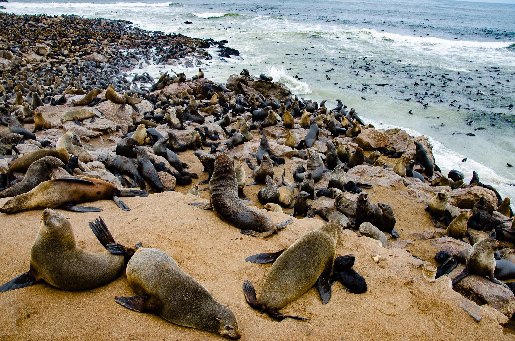 colonie phoques cape cross - swakopmund - le desert du namibie - afrique, namibie