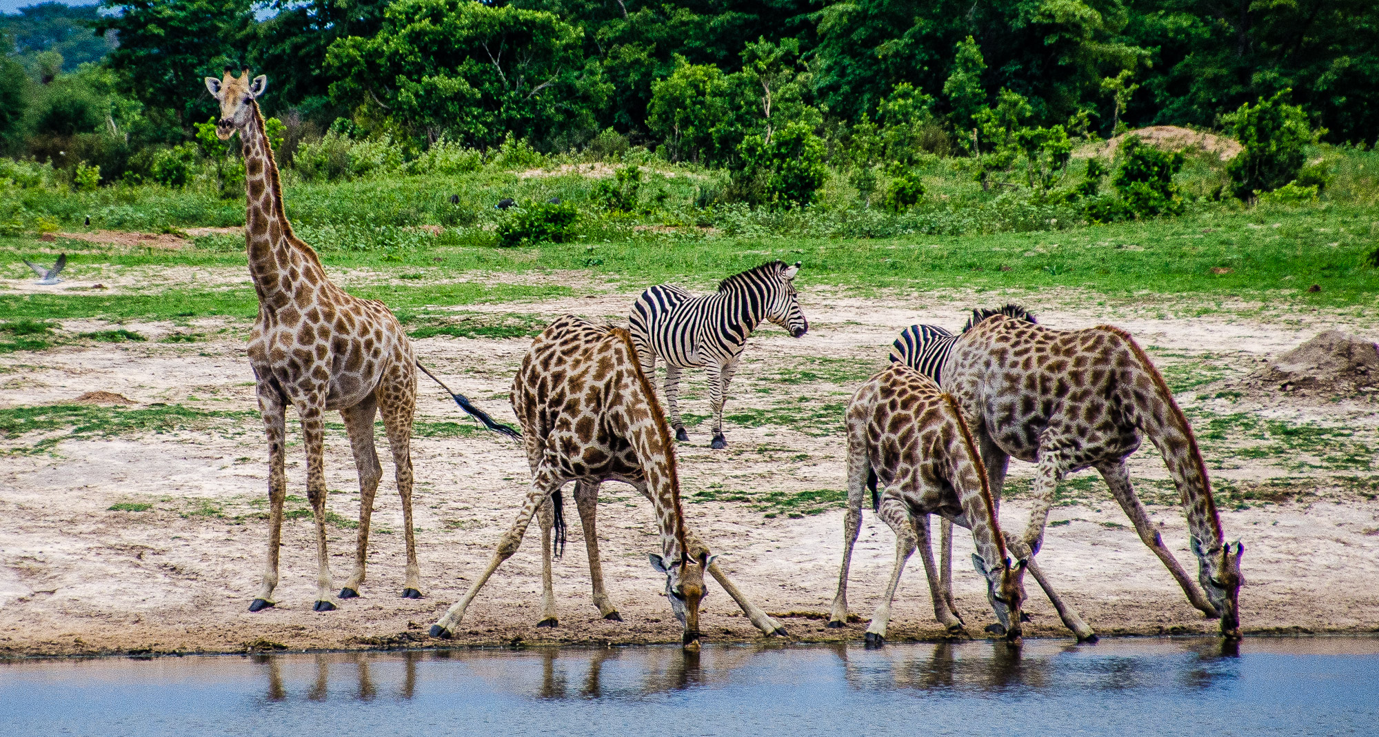 girafes abreuvent - parc national de hwange - Zimbabwe, les chutes Victoria et plus encore! - afrique, zimbabwe