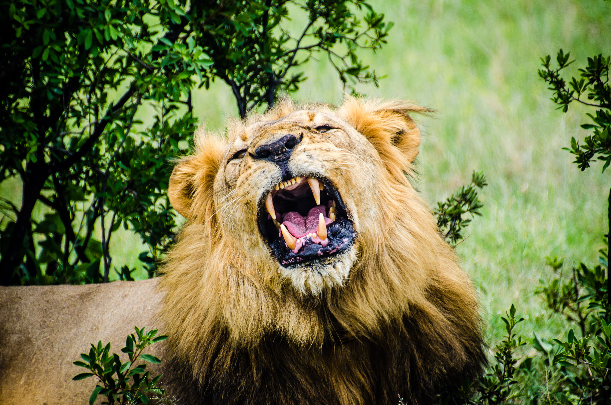 lion male rugissement - parc national de hwange - Zimbabwe, les chutes Victoria et plus encore! - afrique, zimbabwe