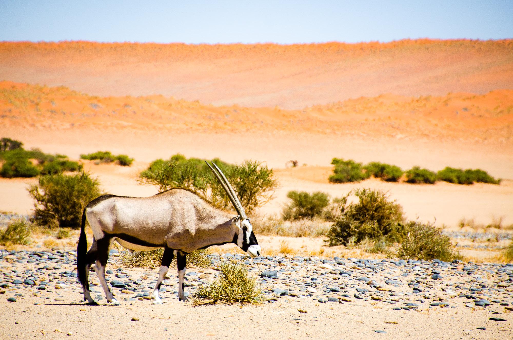 oryx - swakopmund - le desert du namibie - afrique, namibie