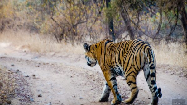 tigre - parc national de ranthambore - L Inde du Nord en quatre étapes - Asie, Inde